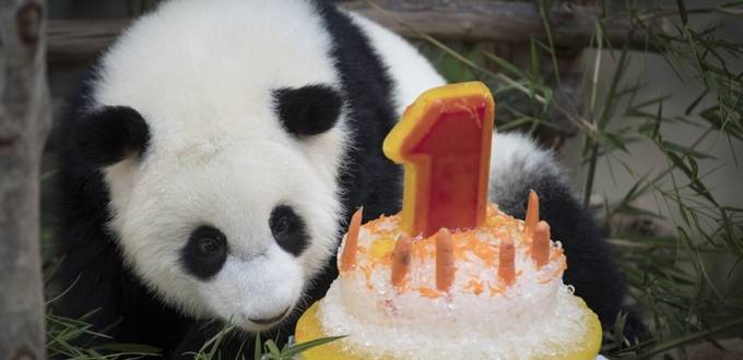 Malaysian zoo celebrates baby panda's first birthday